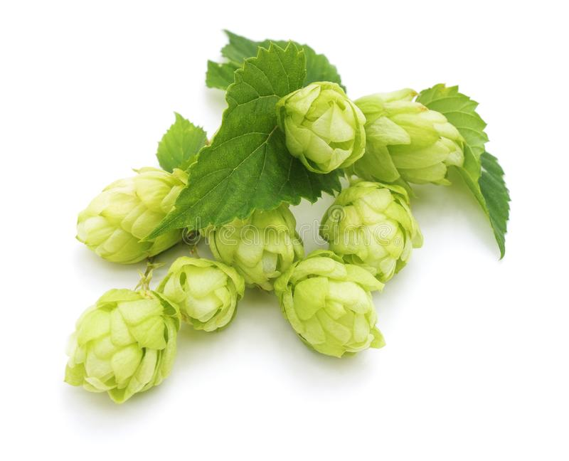 Green fresh hop. stock photo