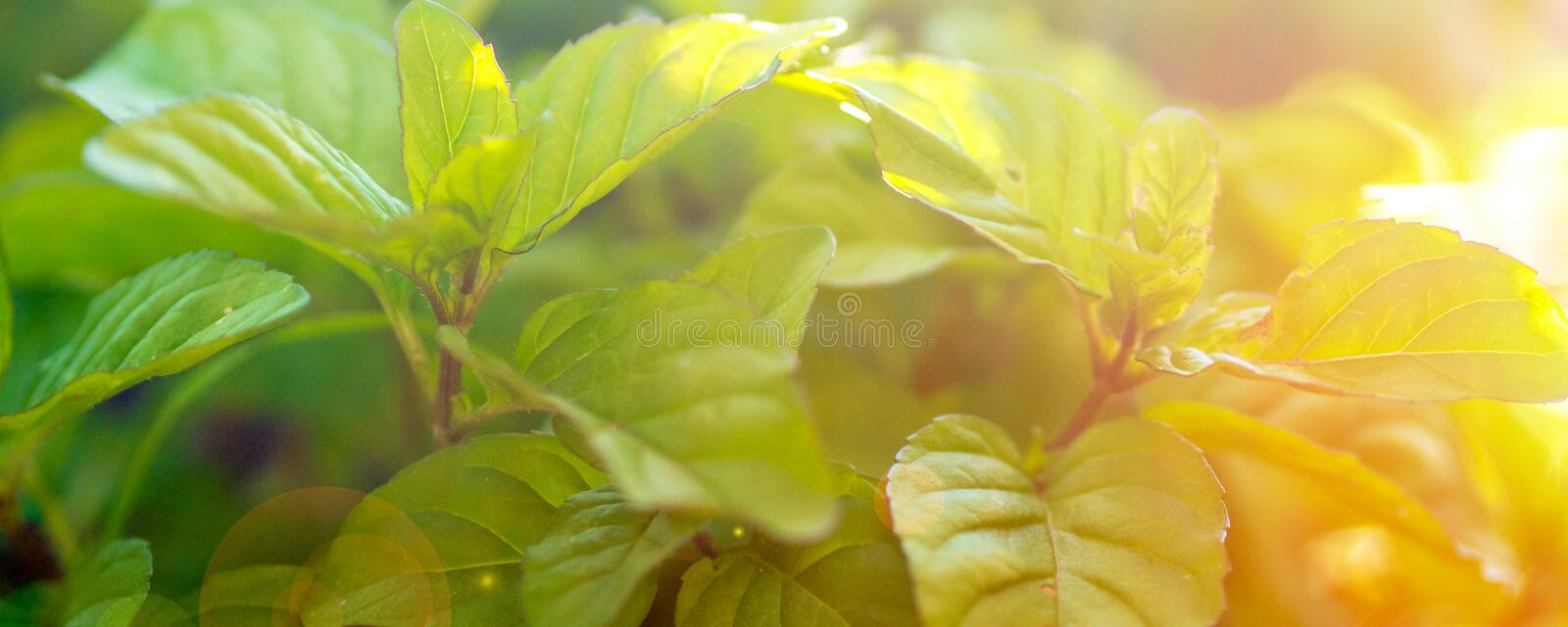 Green fresh leaf of mint, morocco type mint closeup shot. Mint leaf texture, leaf pattern, with sunset sunrise atmosphere. Green fresh leaf of mint, morocco type royalty free stock photo