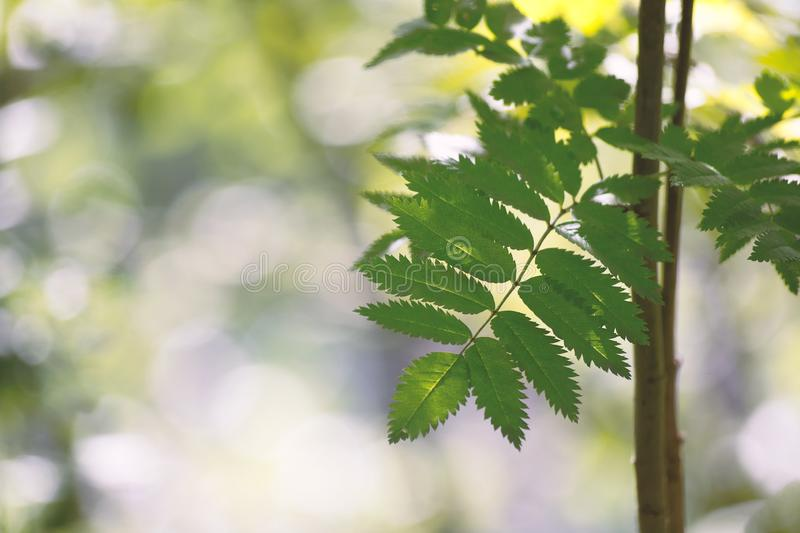 Green fresh leaf of a mountain ash against the background from light green bokeh stock photo