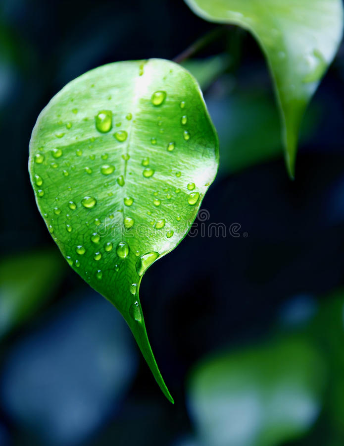 Green fresh leaf with water droplets. With a focus on foreground, close royalty free stock photography