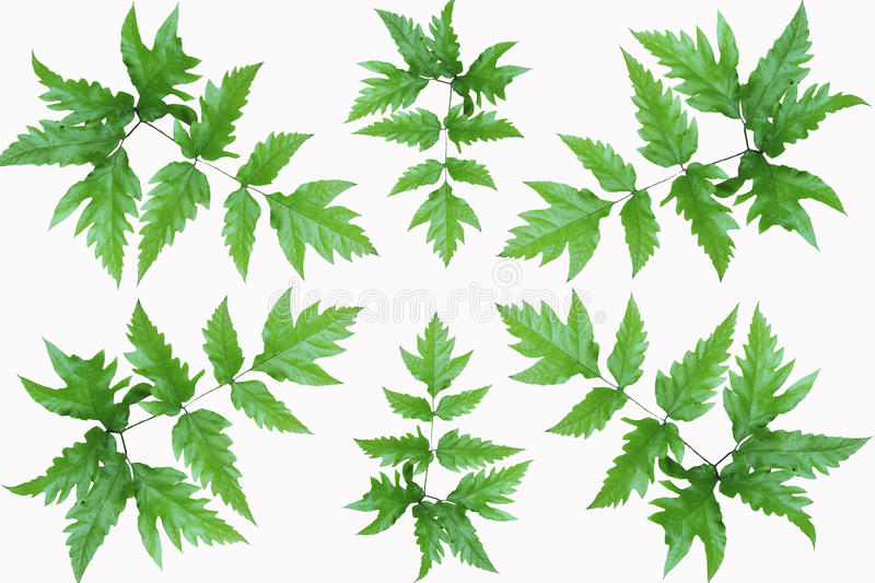 Download Green fresh leaves frame stock image. Image of maple - 25603021