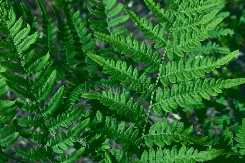 Green fresh leaves of an ostrich fern or fern on a violin or shuttlecock Matteuccia struthiopteris green background from. Green fresh leaves of ostrich fern or royalty free stock image