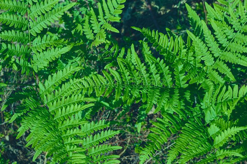 Green fresh leaves of an ostrich fern or fern on a violin or shuttlecock Matteuccia struthiopteris green background from. Green fresh leaves of ostrich fern or royalty free stock photography