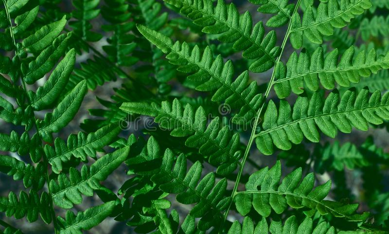 Green fresh leaves of an ostrich fern or fern on a violin or shuttlecock Matteuccia struthiopteris green background from fern. Green fresh leaves of ostrich fern royalty free stock photos