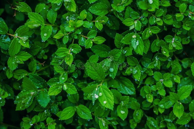 Green fresh leaves with water drops background stock image