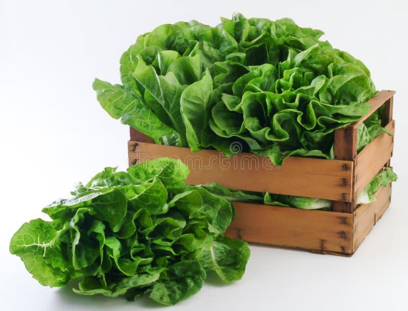 Green fresh lettuce stock image
