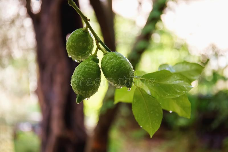 Green fresh lime hanging on tree with rain drops stock image