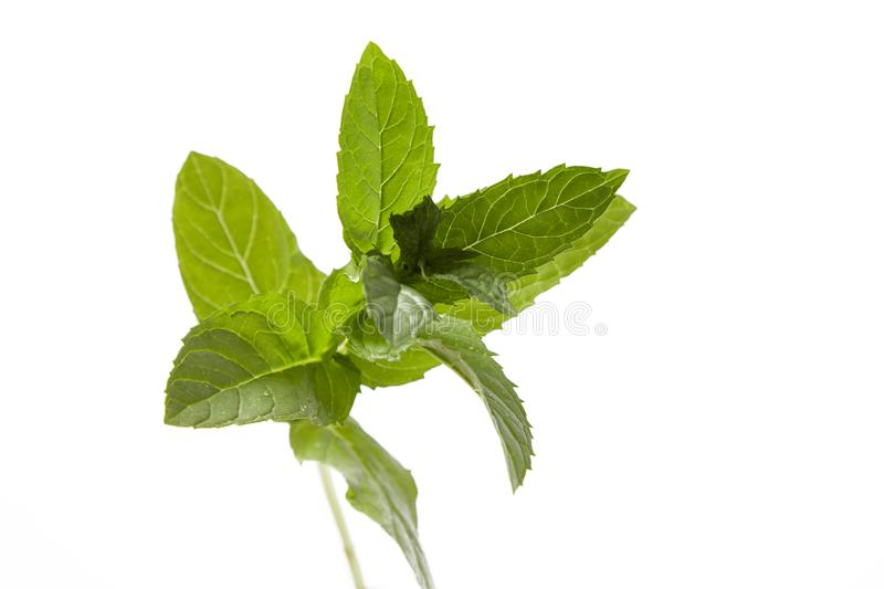 Green fresh mint leaves on white royalty free stock images