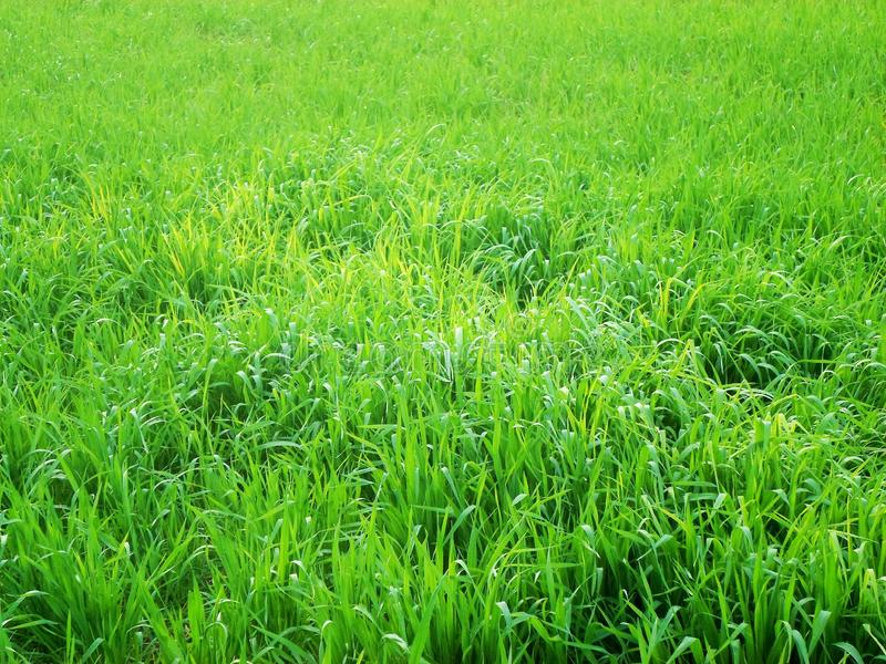 Green fresh natural grass field in fall royalty free stock photo