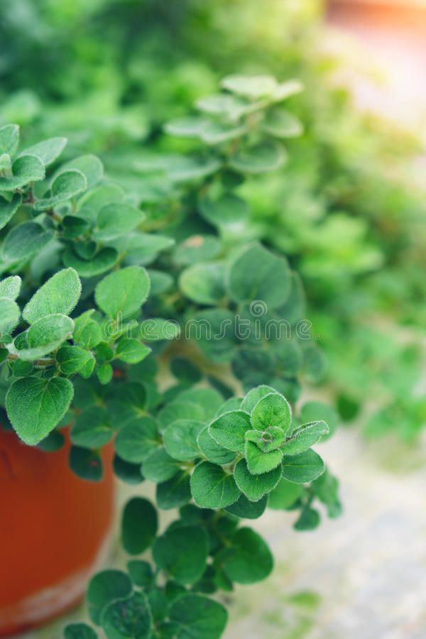Green fresh oregano royalty free stock photography