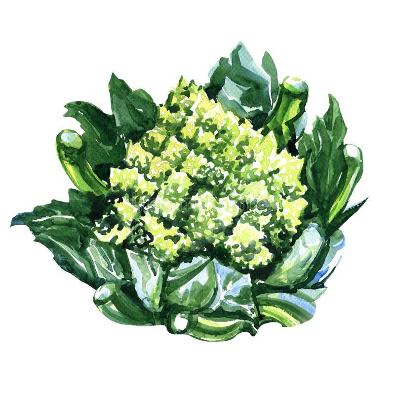 Green Fresh romanesco broccoli, or Roman cauliflower. Watercolor painting on white background royalty free illustration