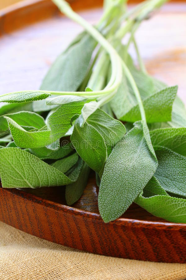 Download Green fresh sage stock image. Image of herbal, freshness - 26308513