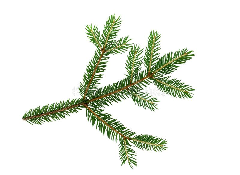Green fresh spruce tree branch isolated on white background. stock photo