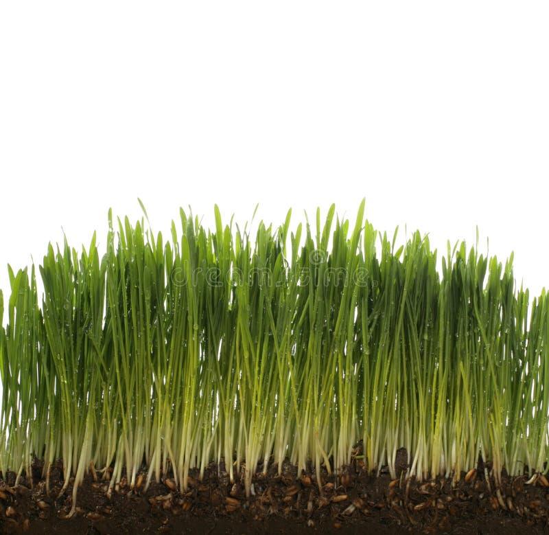 Free Green Fresh Wheat Stock Photography - 4376142