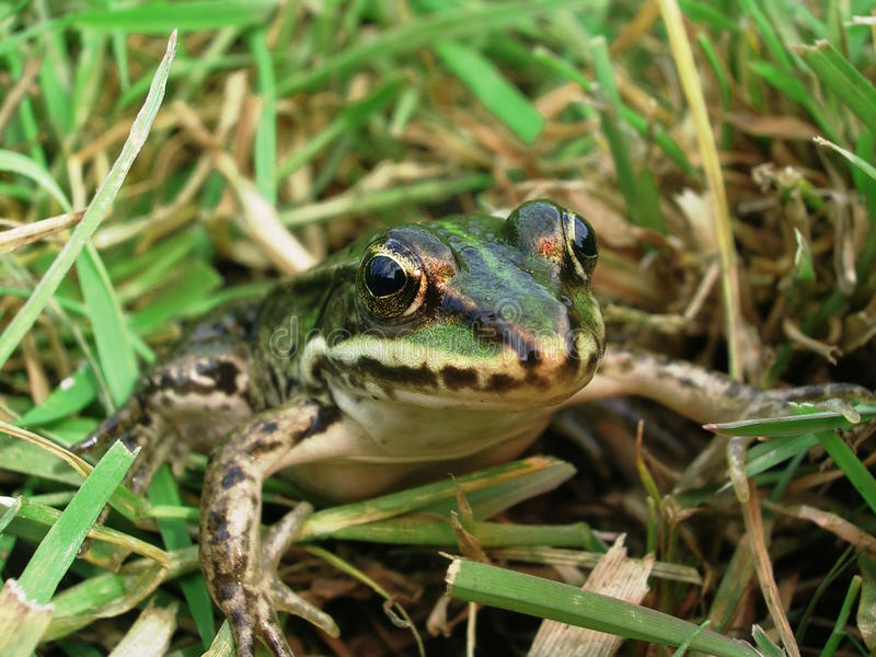 Green Frog Stock Photos