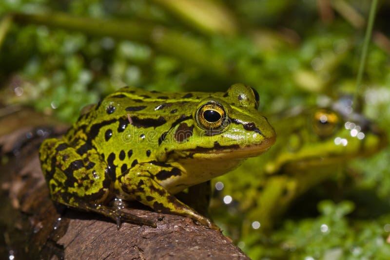 Green frog. Waiting to jump stock photo