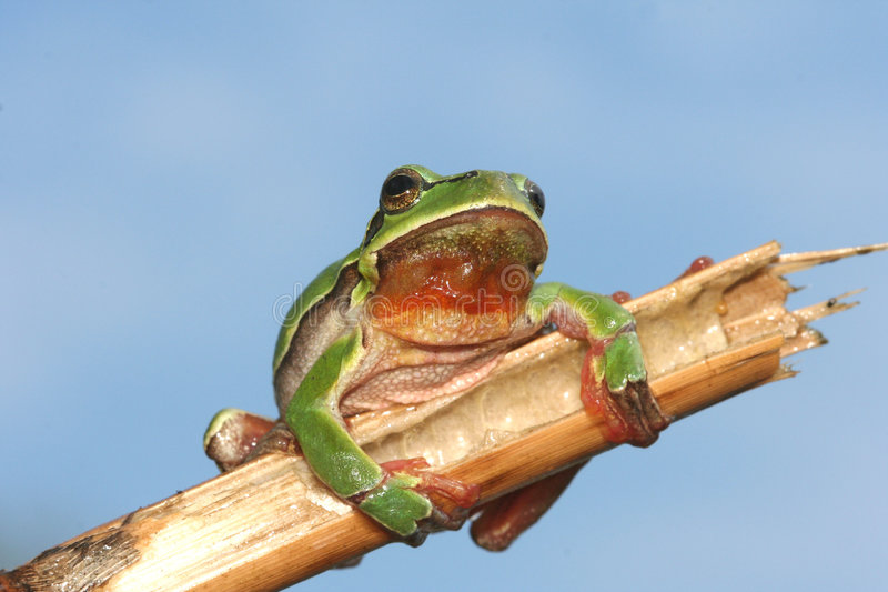Green frog. On the branch royalty free stock images