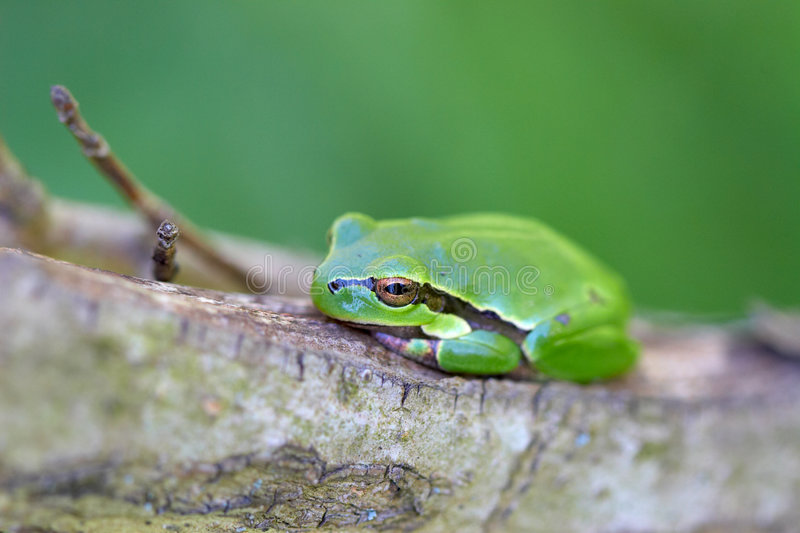 Green frog. On a tree in the forest royalty free stock images