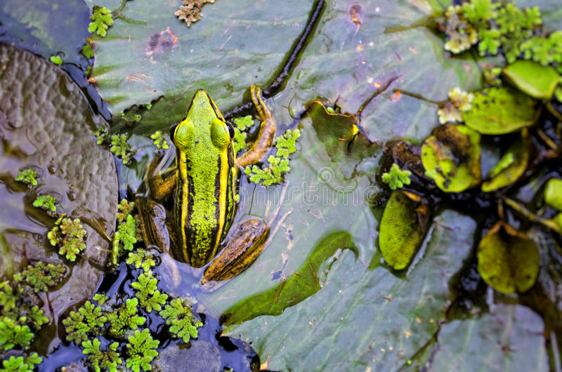 Download Green Frog stock image. Image of wilderness, wildlife - 24599281
