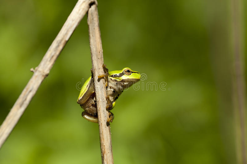 Download Green frog stock photo. Image of wildlife, plant, frog - 24819668
