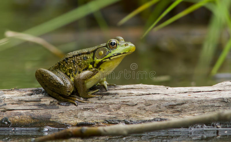 Download Green Frog stock image. Image of croak, prince, surface - 25330129