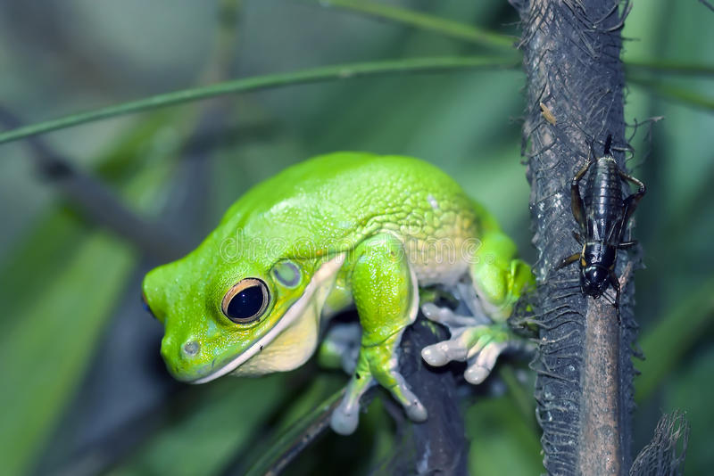 Green frog stock photography
