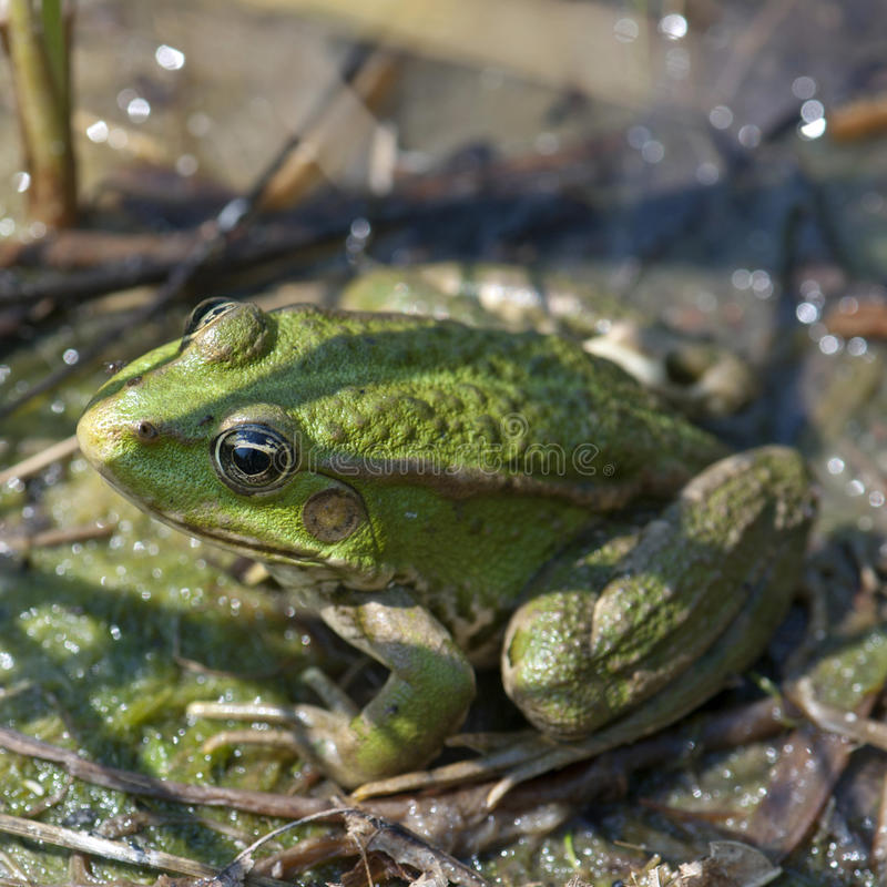 Green frog. Resting in lake royalty free stock photos