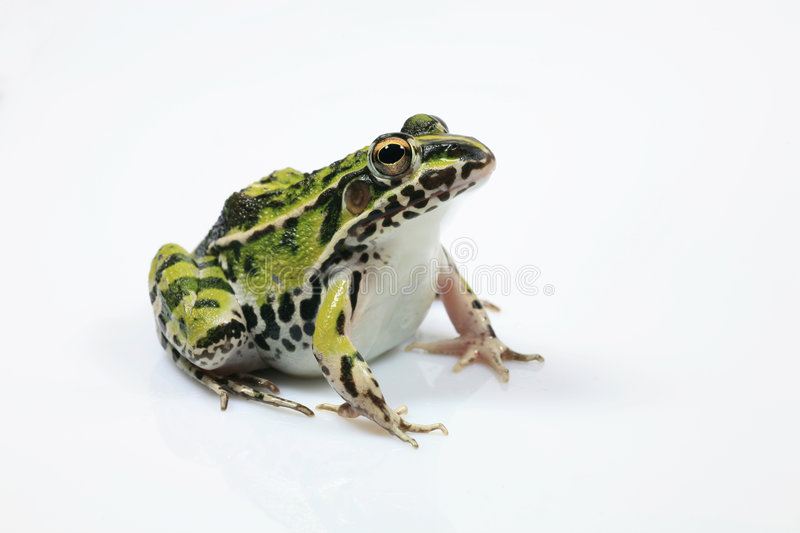 Green Frog. Single Green Frog Isolated on White Background royalty free stock image