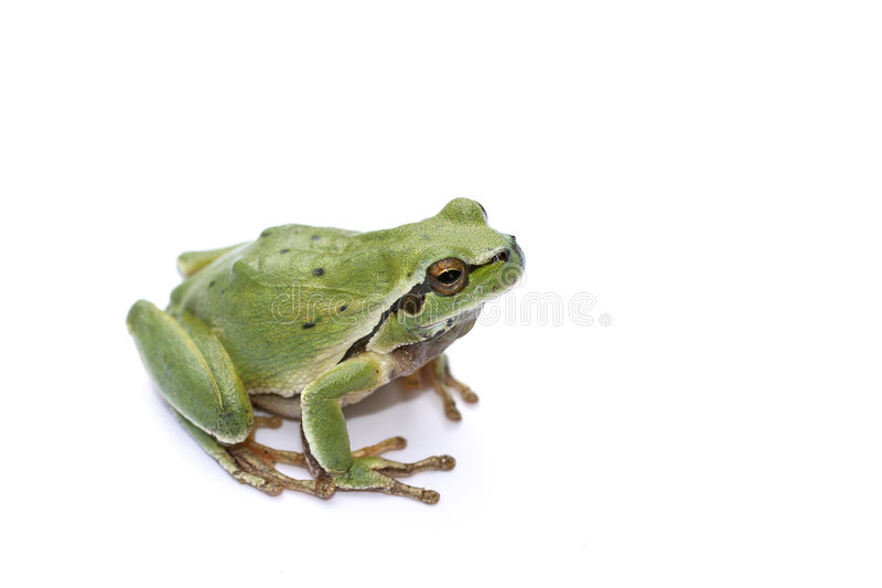 Download Green Frog stock image. Image of cute, dampness, animated - 805779