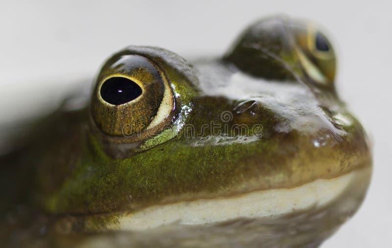 Green frog big eyes close stock image