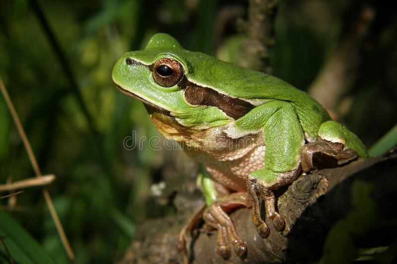 Green Frog in Brown Wood royalty free stock images