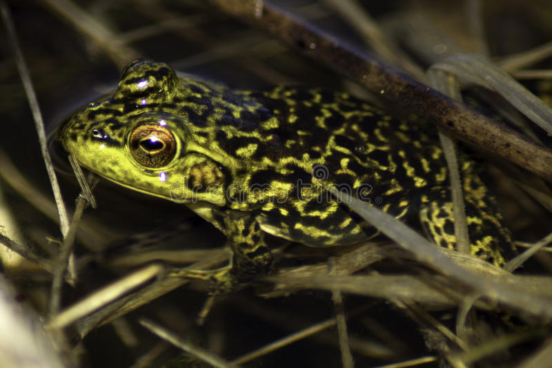 Download Green Frog stock photo. Image of shot, amphibian, young - 91248828
