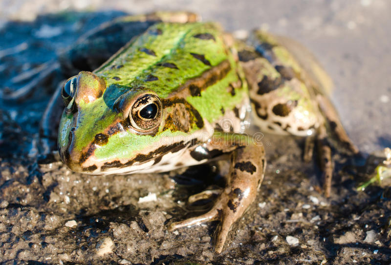 Green frog. Close up to green frog in the swam,selective focus royalty free stock photos
