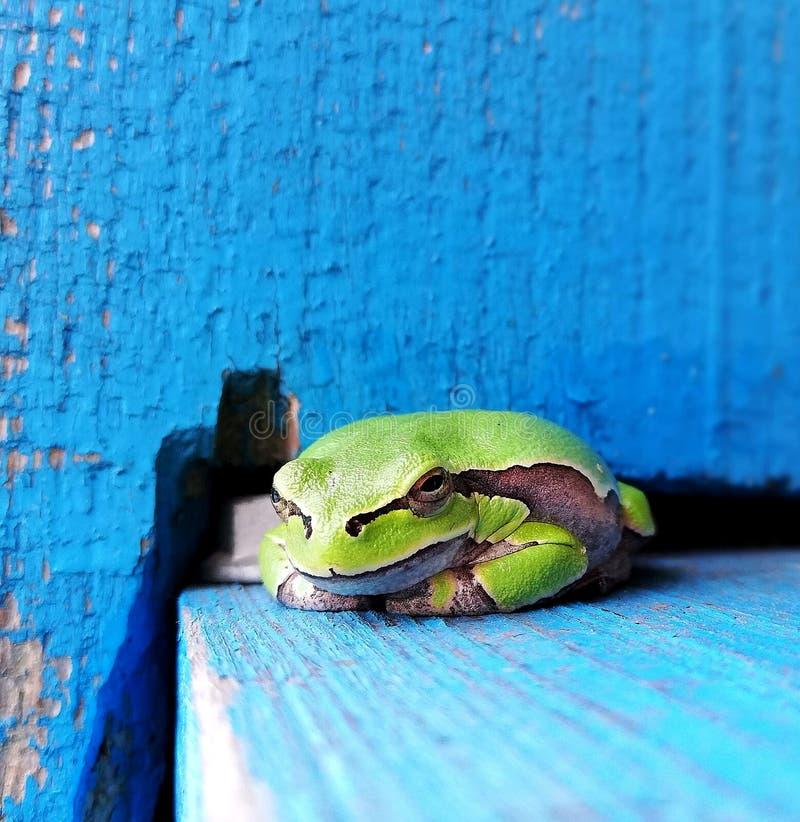 Green frog closeup royalty free stock photos