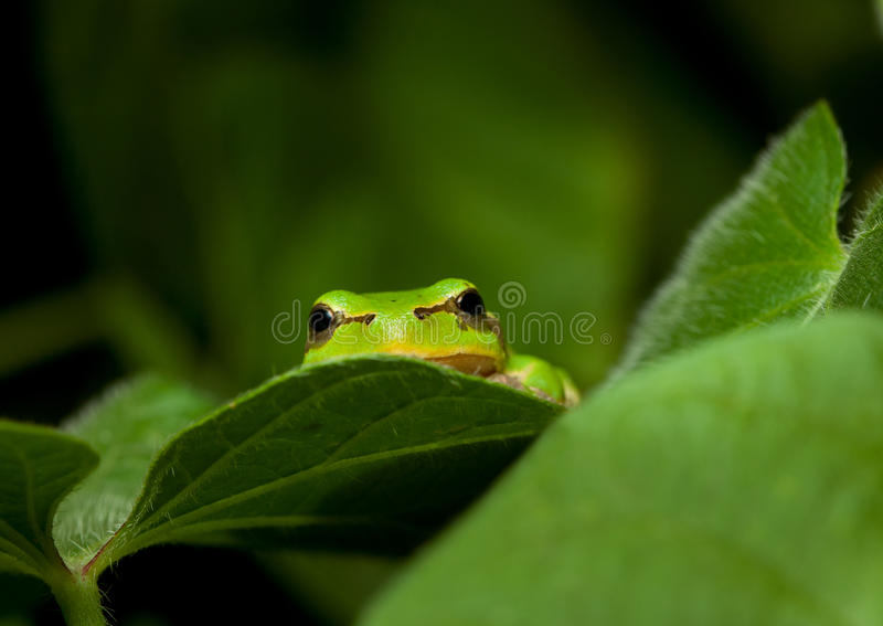 Green frog curious peek. Macro of tree frog peeking out from behind the leaves royalty free stock photo