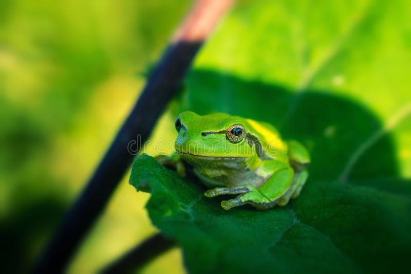 Green frog on green leaf royalty free stock photo