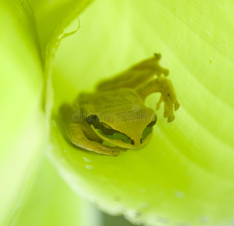 Free Green Frog In Leaf Royalty Free Stock Image - 13715046