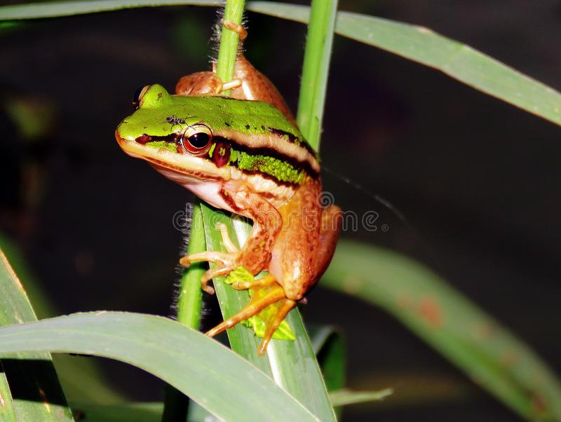 Green frog. With leaves amphibian stock photography
