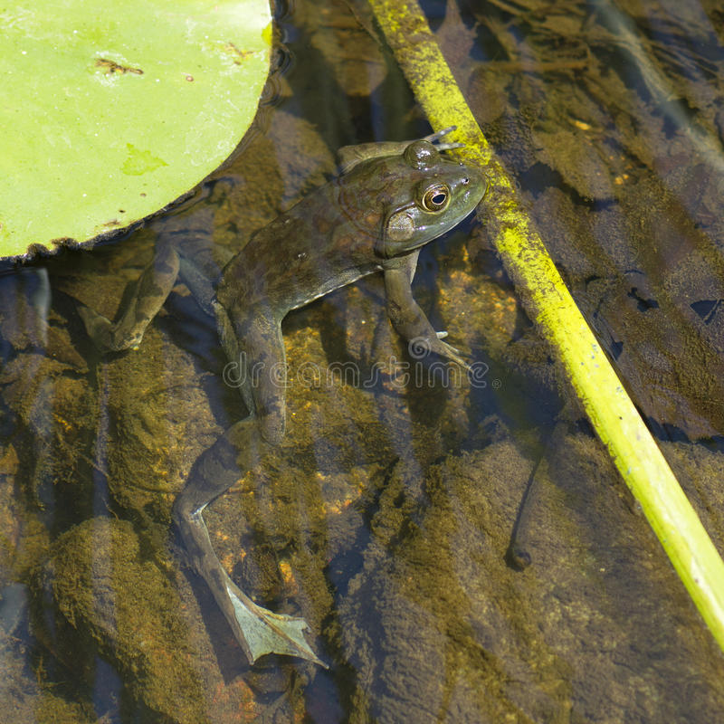 Green frog (Lithobates clamitans) in a pond royalty free stock photography