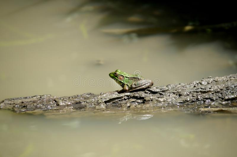 Download Green Frog on a Log stock photo. Image of nature, green - 25407548