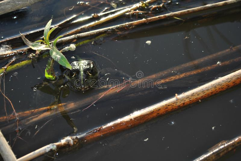 Green frog looking from water, close up detail, dark water with dry reeds in it stock photo