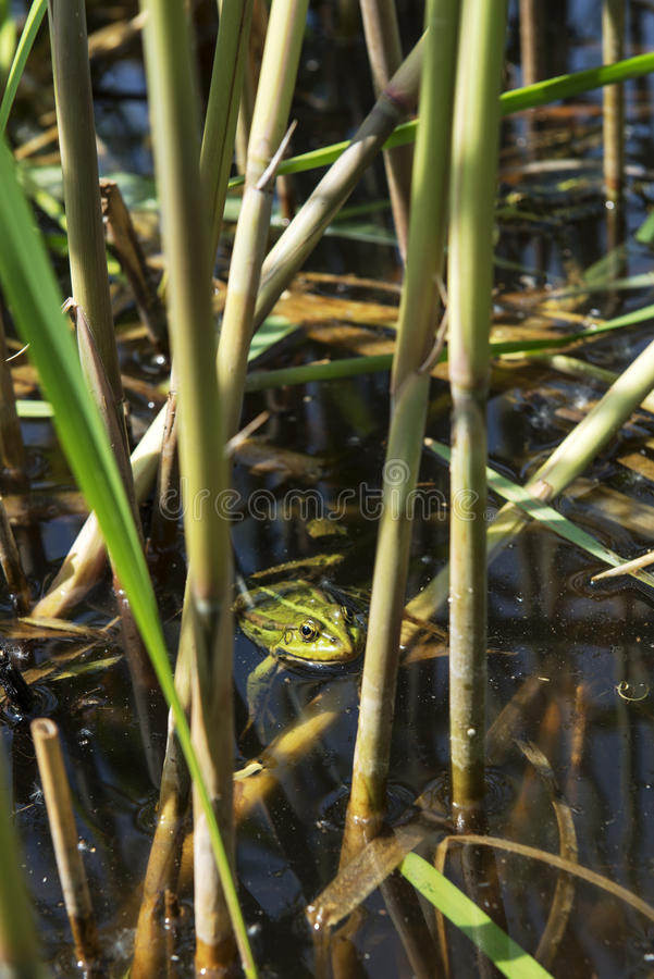 Green frog. Pelophylax lessonae sits in a dense reed in a pond stock photos