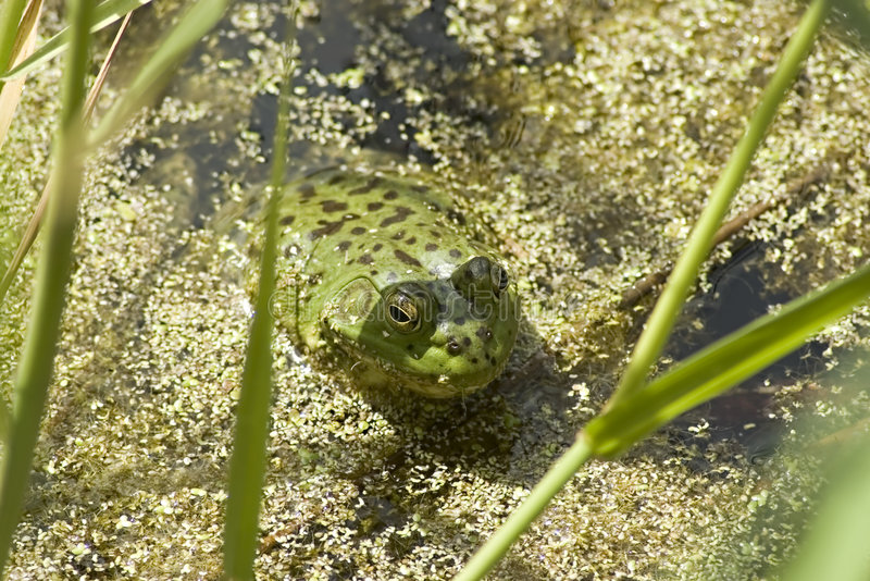 Green Frog in Pond. Green frog sitting in a marshy pond stock images