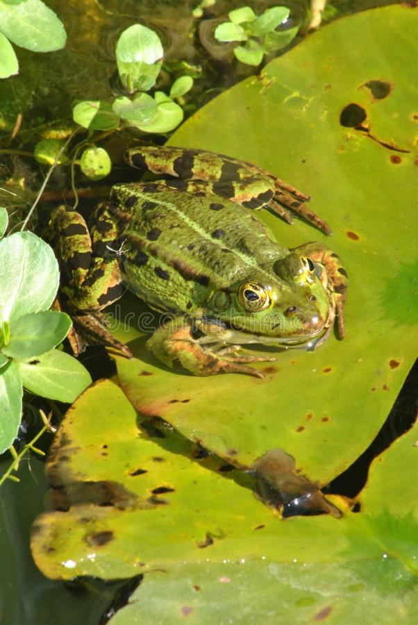 Green frog in pond royalty free stock photos