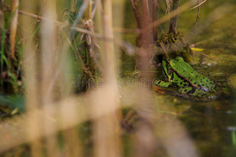 Green frog in pond royalty free stock images