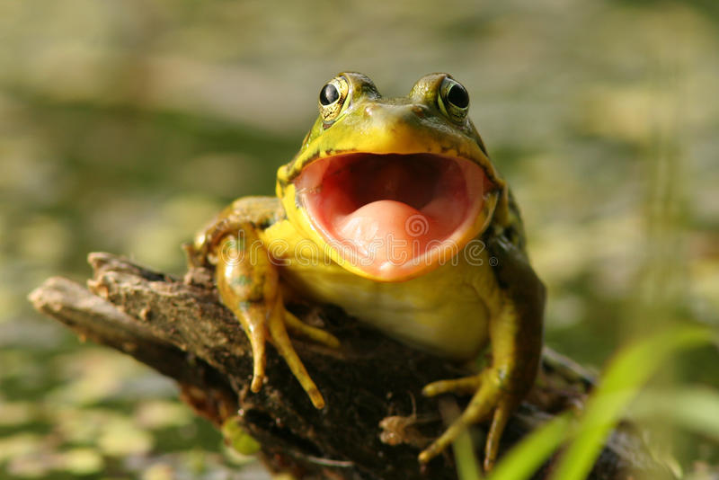 Green Frog (Rana clamitans) with Mouth Open royalty free stock photos