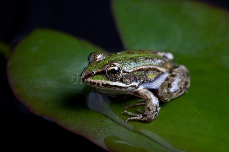 Green frog reflected stock image