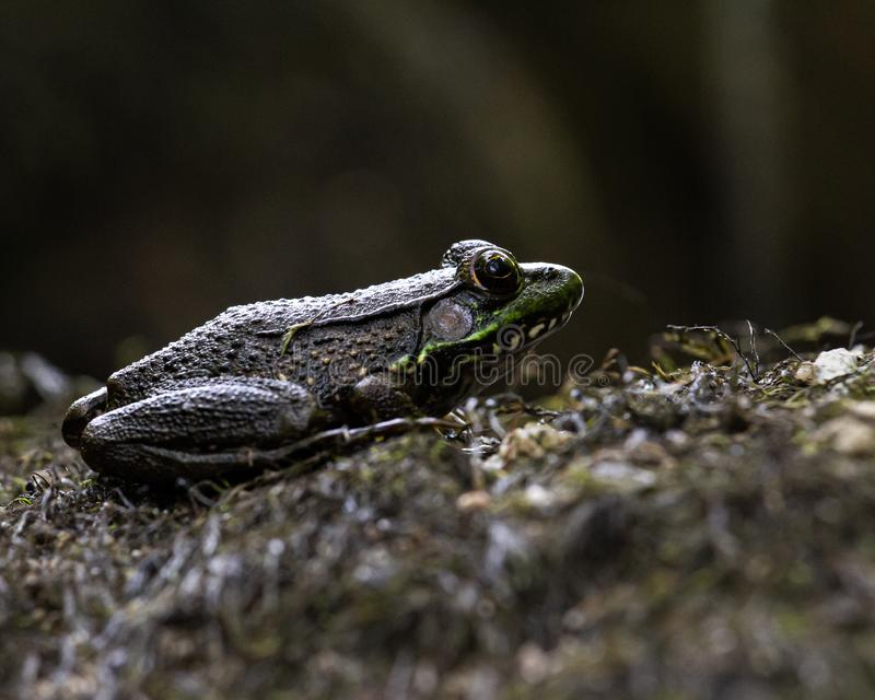 Green Frog Resting on Moss royalty-vrije stock foto's