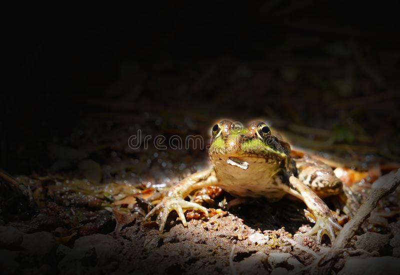 Green frog on river aquatic plants in black background stock photography