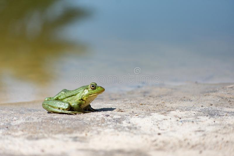 Green frog on the sand. stock photos